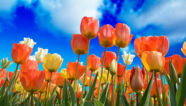 Orange and yellow tulips against a blue sky